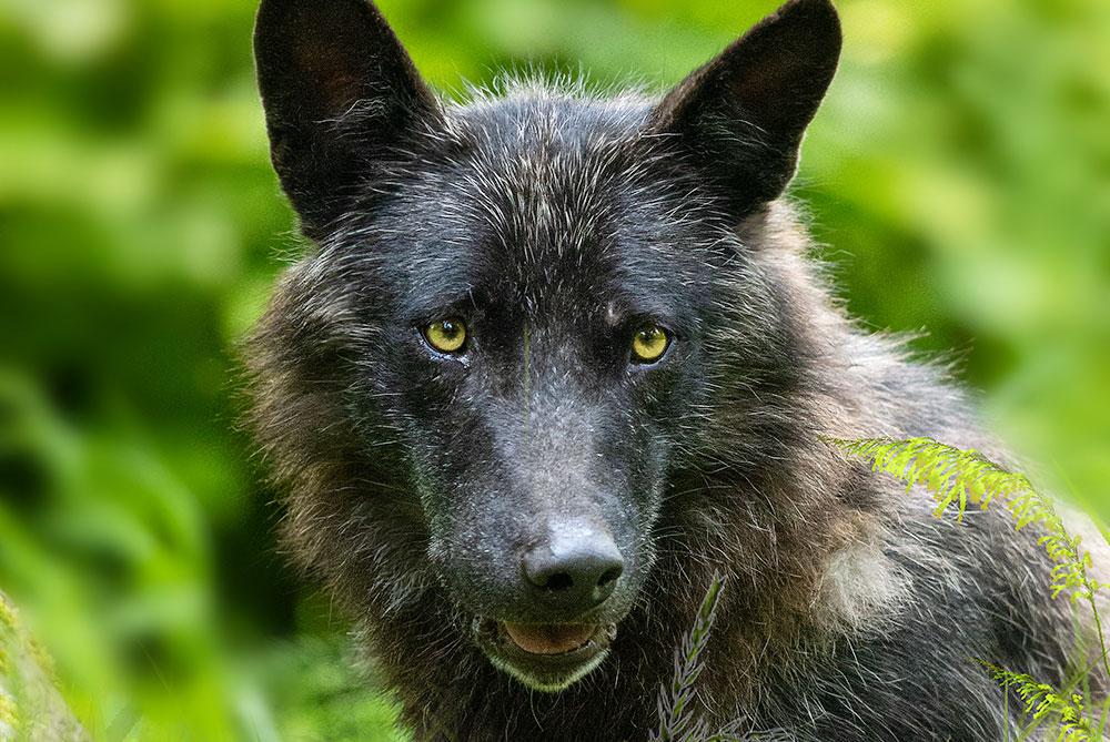 Wolfsfuetterung