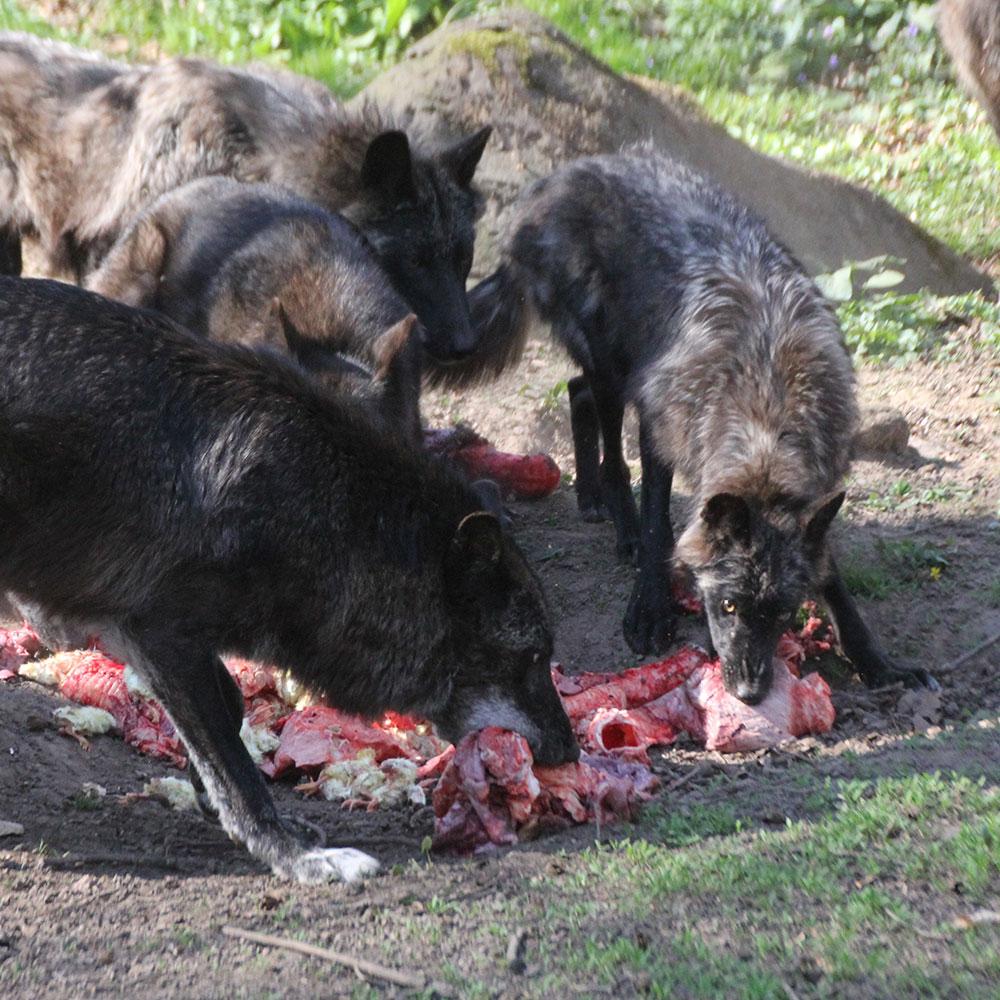 Die Wölfe bei der Fütterung